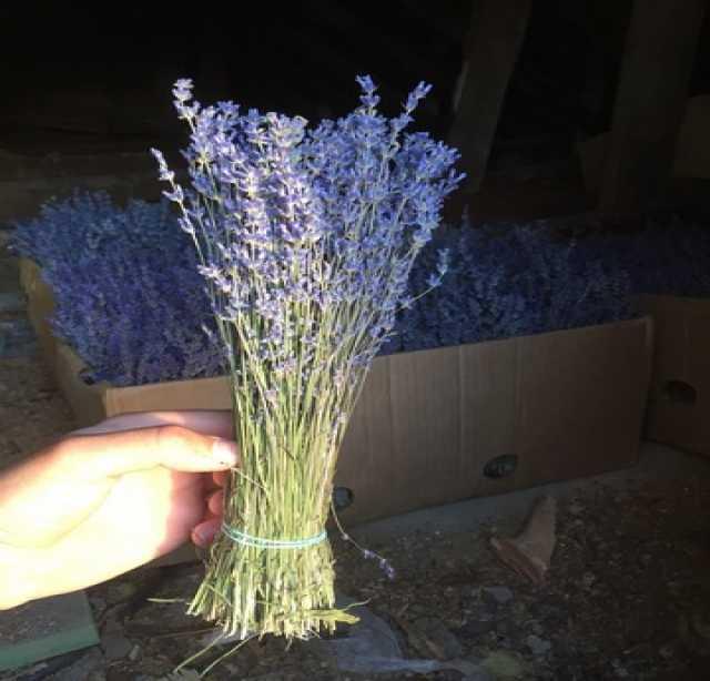 Продам Лаванда в букетах сухая , цвет