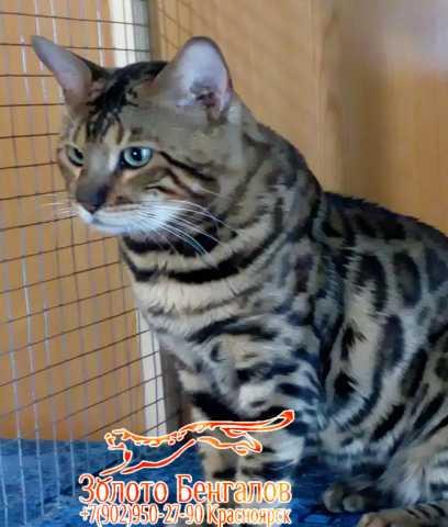 Предложение: вязка котом бенгальским