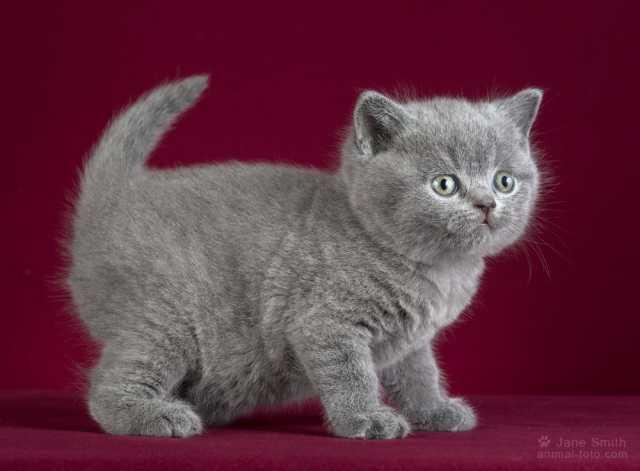 Продам Британские голубые котята.