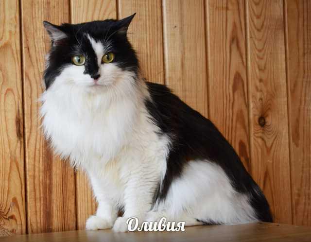 Отдам даром Кошечка Оливия- спокойная и ласковая