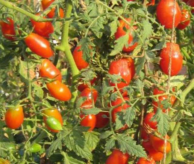 Продам Гроздевые томаты на сайте скороспелка.рф