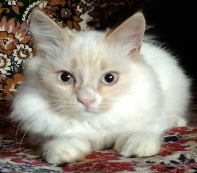 Продам Зайчик, котик породы Невская маскарадная