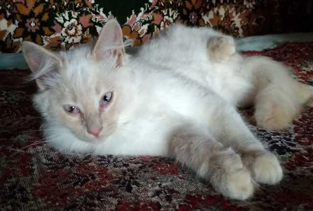 Продам Бусинка, котик породы Невская