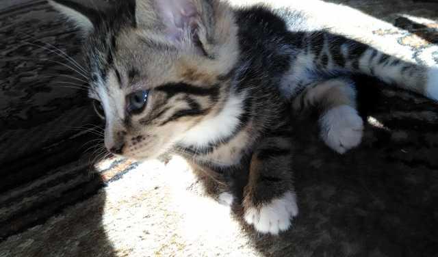 Отдам даром Котята и кошка