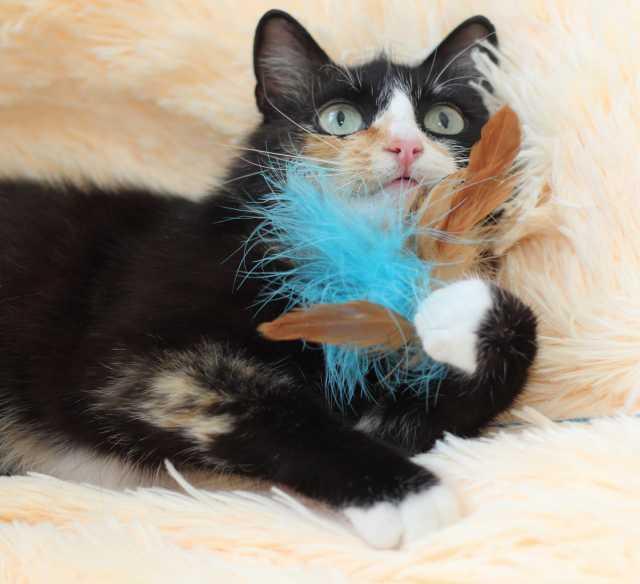 Отдам даром Черепаховая кошка ~1г. срочно ищет дом