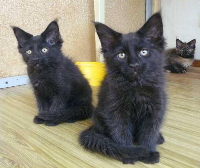 Продам Черные котята мейн кун
