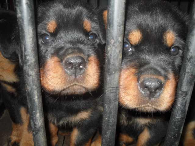 Продам щенки
