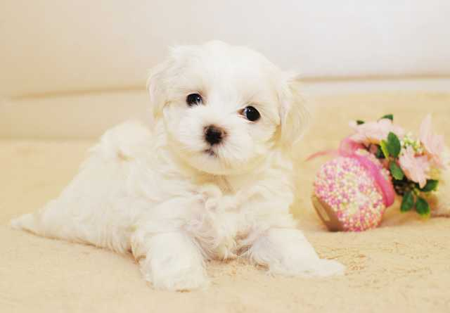 Продам Очаровательные щенки мальтезе