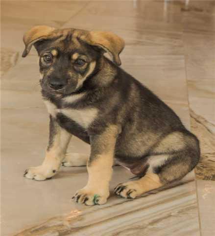 Отдам даром Чудесный щенок Адель в добрые руки.