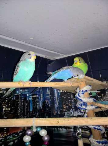 Продам Волнистые попугаи-Самцы