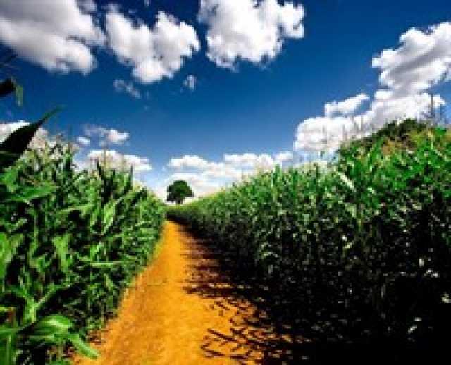 Продам кукуруза