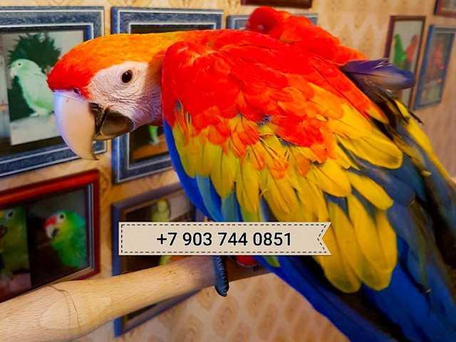 Продам Красный ара - ручные птенцы