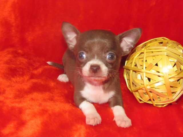 Продам красивые щенки чихуахуа