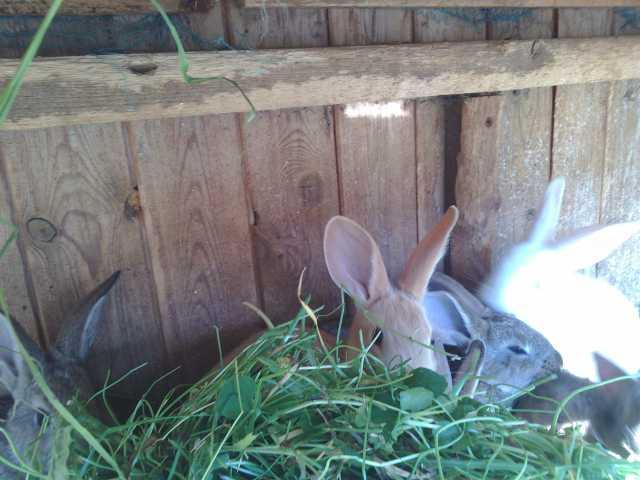 Продам Крольчата
