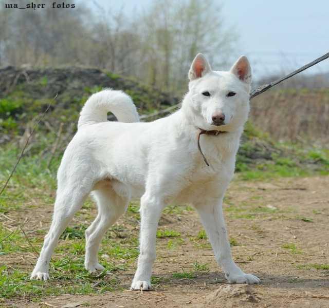 Отдам даром Красивый белый пес Вайт ищет дом.