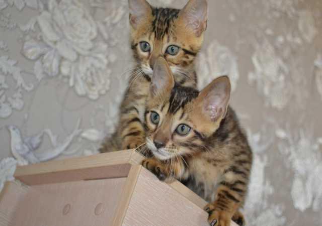 Продам Бенгальские котята Нижегородского клуба