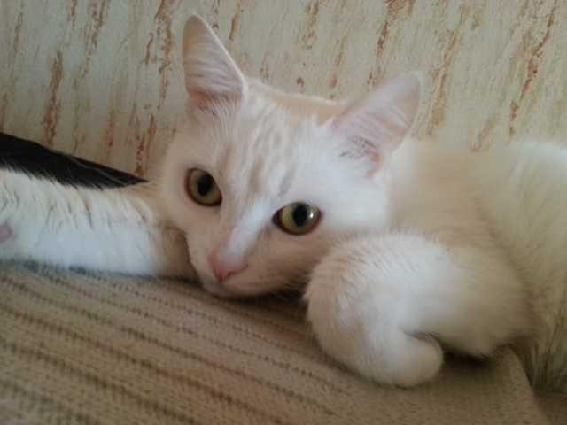 Отдам даром Чудесную белую кошечку