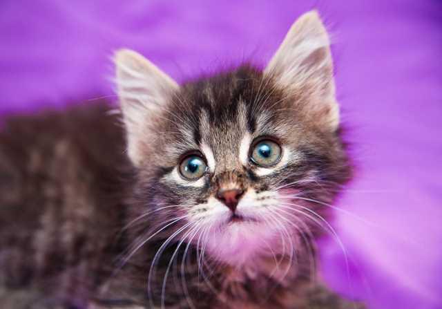 Отдам даром Прекрасная Ассоль, котенок в заботливые