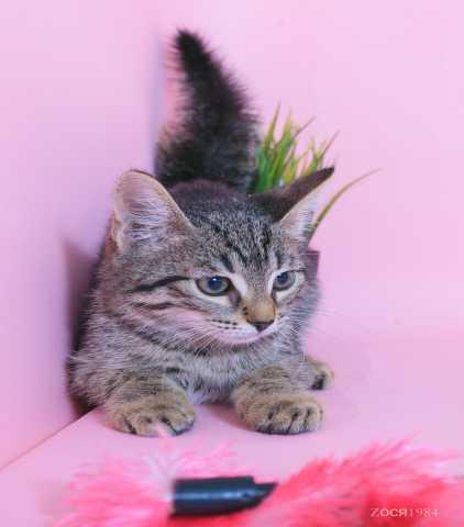 Отдам даром Замечательный полосатый котенок Марсик,