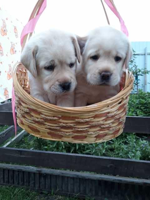 Продам Палевые щенки