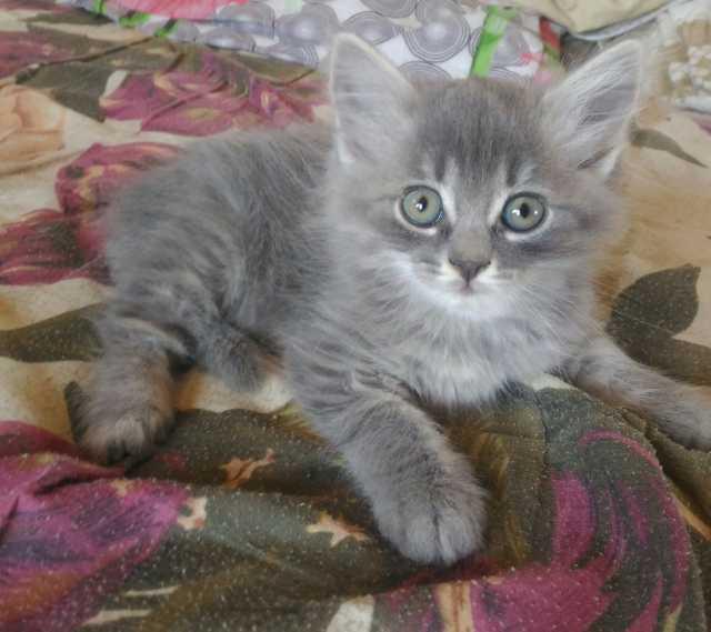 Отдам даром  Сибирские котята