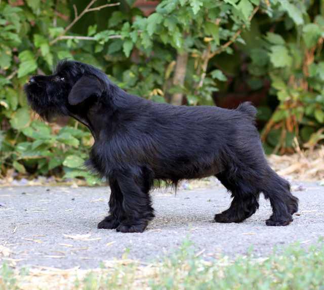 Продам щенки цвергшнауцера, черного окраса