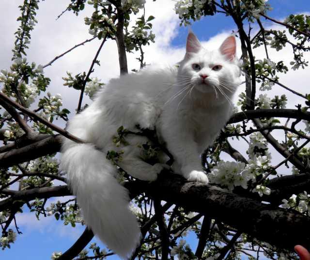 Продам Кошечка , белый солид, голубоглазая