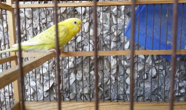 Продам Волнистый Попугай