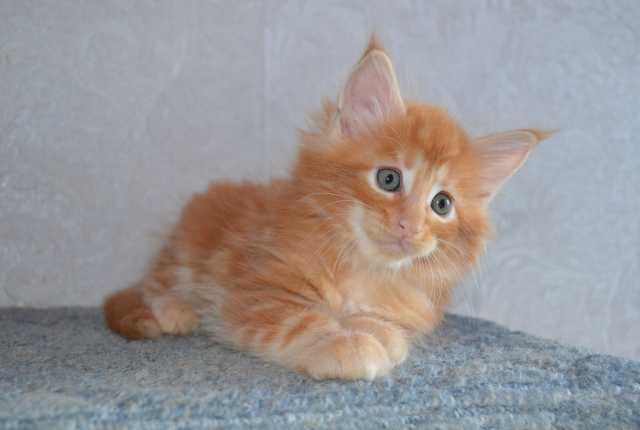 Продам  шикарный котик Мейкун!