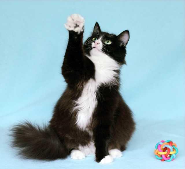 Отдам даром Муся-Обнимашка, очень ласковая кошка 3г