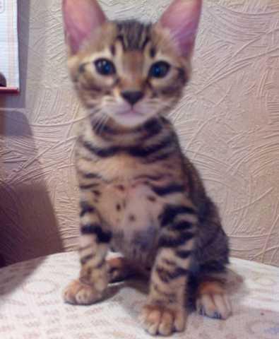 Продам: Бенгальские котята