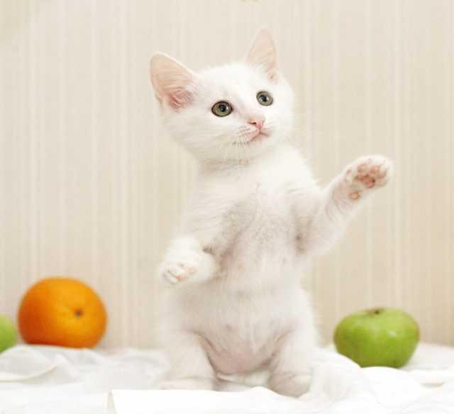 Отдам даром Василина-Картина и Данечка. Белые котята