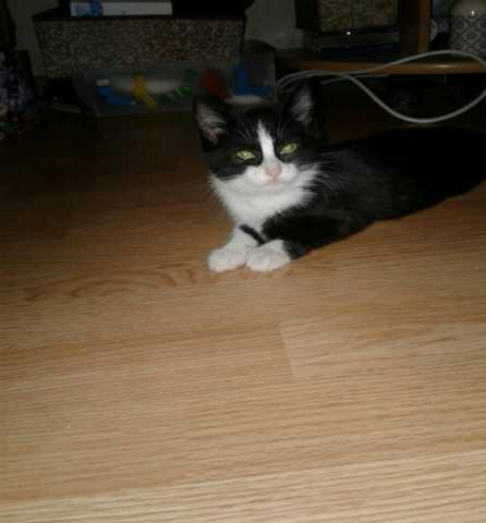 Отдам даром Шуня - котенок девочка 2,5 месяца