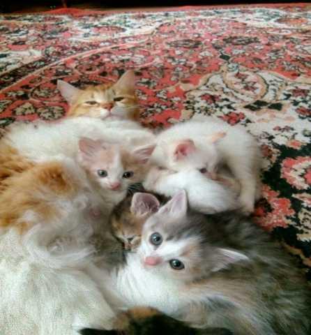 Продам Котята Сибирской Кошки