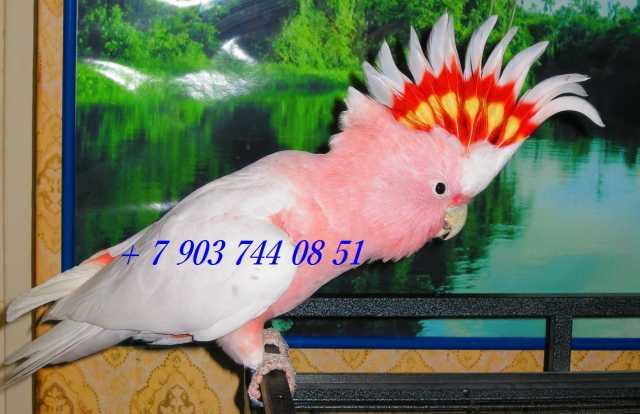 Продам Какаду инка - ручные птенцы