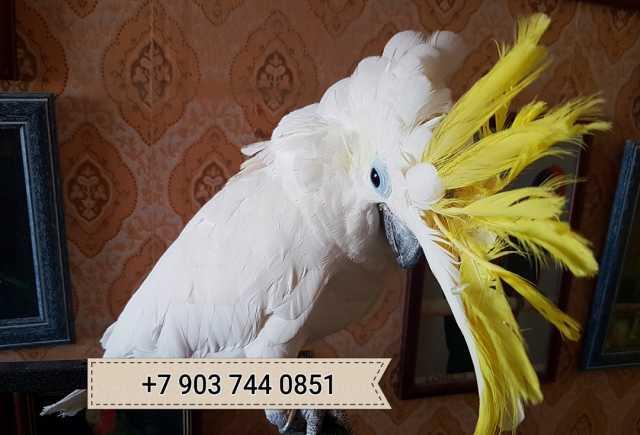 Продам Желтохохлый какаду  - ручные птенцы