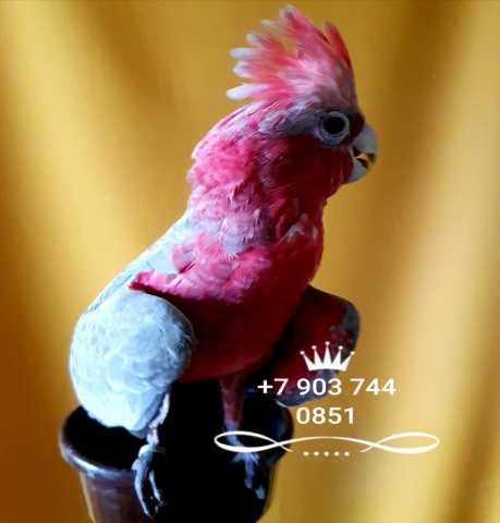 Продам Розовый  какаду  - ручные птенцы