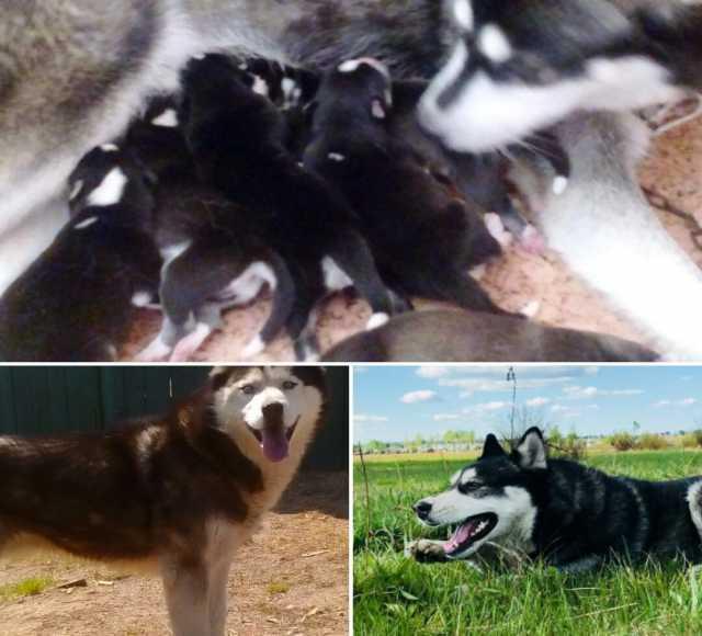 Продам щенки сибирской хаски