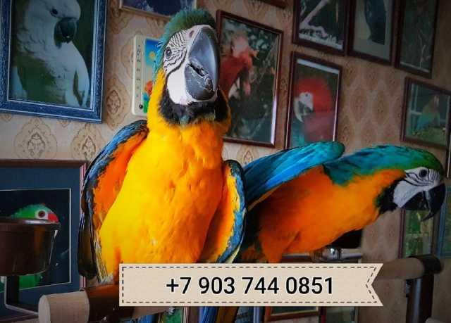 Продам Сине желтый ара - ручные птенцы