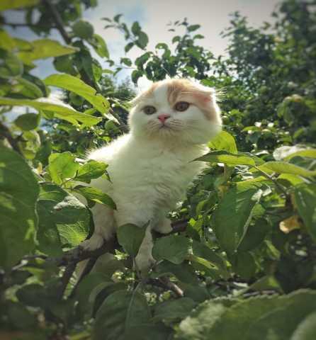 Продам Шотландские котятки