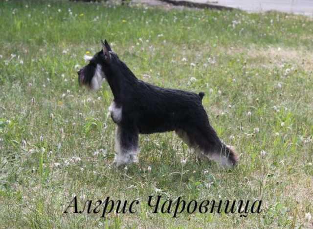 Продам Высокопородные щенки цвергшауцера