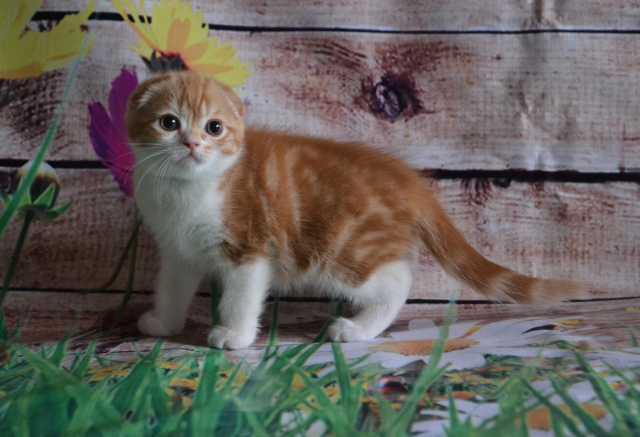 Продам Шикарный вислоухий котик