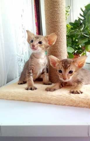 Продам Породистые котята ориенталы