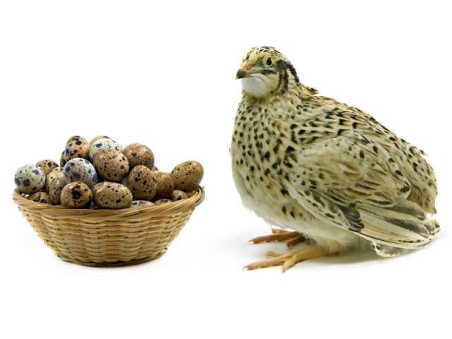 Продам Перепела, инкубационное яйцо