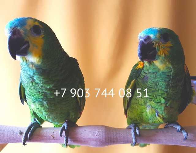 Продам Синелобый амазон - ручные птенцы