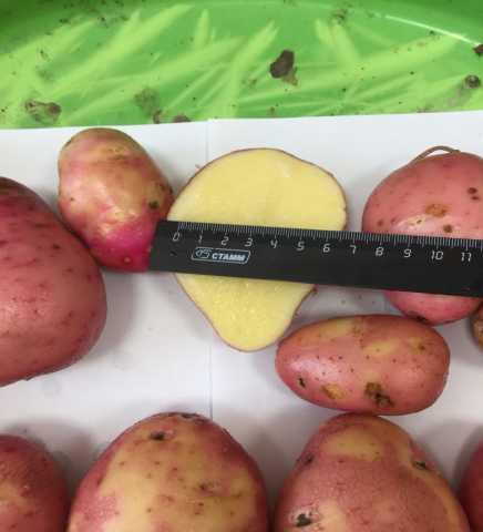 Продам Картофель урожая 2018 года от производит