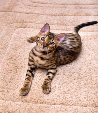 Продам: Бенгальский котик