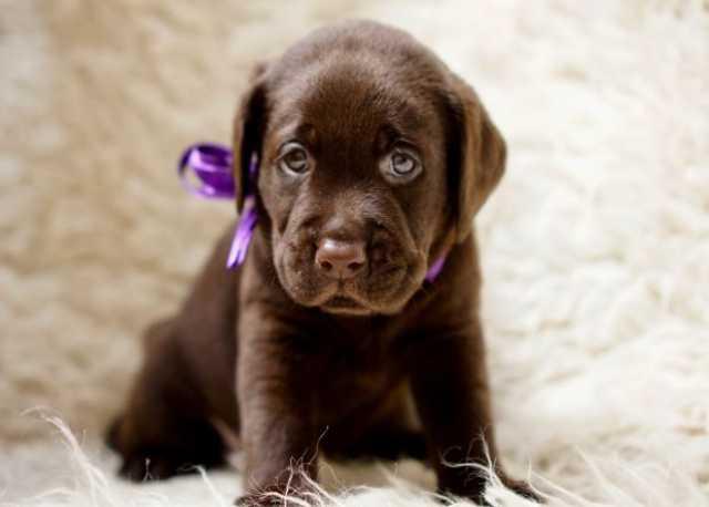 Продам Шоколадные щенки Лабрадора — питомник «S