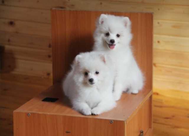 Продам Немецкий малый шпиц белого окраса  щенки