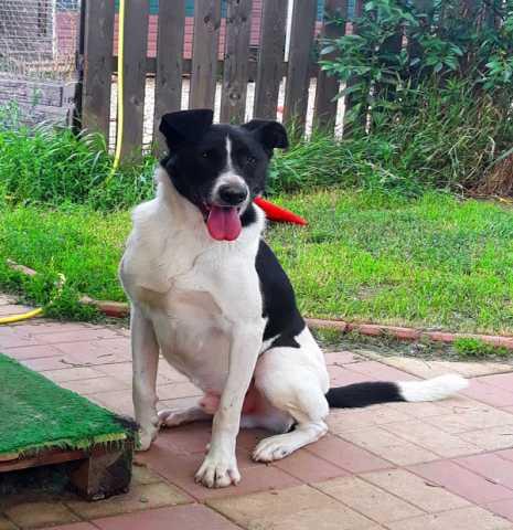 Отдам даром Бобин-черные ушки. Яркий, эффектный пес.